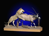 Full Mount African Lion Attacking Gemsbok