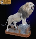 African Lion Lifesize Mount, Roaring, Finished Cherry Base