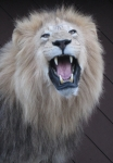 Roaring African lion mount,