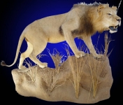 Lifesize African Lion Mount, Stalking
