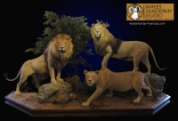 African lion, lifesize lion, lifesize lion mount, full mount lion, full mount african lion