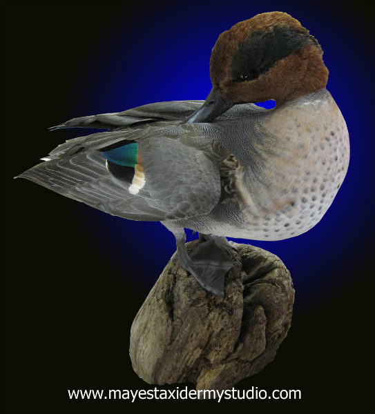 Green wing teal duck mounts