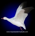 Snow goose mount, Flying snow goose mount