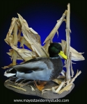 Mallard duck mount, on tabletop habitat with corn stalks. Mallard mount.
