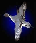 Pintail, Flying