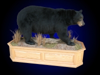Black Bear, HUGE, 440 lb. sow on finished oak habitat scene