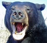 Close-up of Black Bear Face