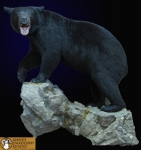 Black Bear wall mount, rock ledge, black bear lifesize wall mount