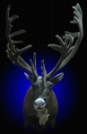 Caribou, shoulder mount, synthetic velvet