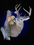Whitetail Deer, Standard Shoulder Mount (with alterations) and side accents