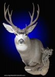 Mule Deer shoulder mount, Mule Deer shoulder mount with side accent