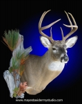 Whitetail Deer shoulder mount, with side accents