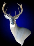 Whitetail Deer, Wall Pedestal