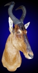 Hartebeest Shoulder Mount
