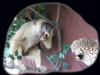 Baboon with Leopard