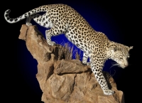 Lifesize Leopard Mount on Rock Base. Can be made for Wall or Floor mount.