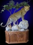 Lifesize Leopard Mount on Finished Walnut Cabinet. Doors on Back Side.