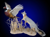 Grey fox going after pheasant