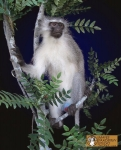 Monkey Mount, Vervet Monkey Mount