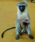 Blue Vervet Monkey, Playing Cards