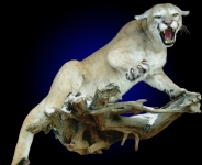 mountain lion lifesize mount, full mount mountain lion, full body mount cougar, full body mount mountain lion