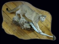 Mountain Lion Full Mount Stepping Down on Rock and Branch Base