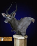 Nyala Pedestal Mount, Nyala Shoulder Mount