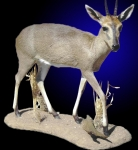 Duiker, Lifesize on Tabletop/Floor Habitat