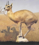 Klipspringer, Lifesize on Rock Base