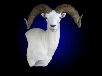Dall Sheep Wall Pedestal Shoulder Mount