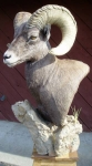 Rocky Mountain Bighorn Sheep Pedestal Mount Close-up