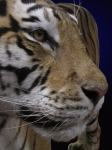 Piercing expression in tiger's eyes