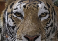Tiger exudes confidence and stealth
