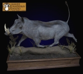Warthog lifesize mount, warthog full mount taxidermy