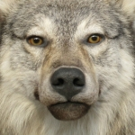 Wolf Mount Face Close up