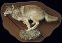 Wolf Lifesize Running on Rock Ledge
