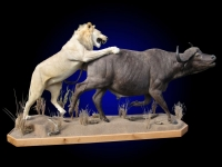 African Lion Full Mount Attacking Cape Buffalo