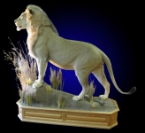 Full Mount African Lion, Front Elevated, Finished Oak Base