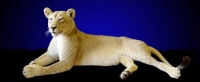 Full Mount African Lioness, Lying down