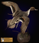 Pintail Taxidermy Mount Pose