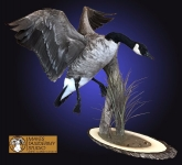 canada goose taxidermy mount flying