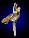 grouse mount taxidermy standing