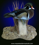 wood duck mount, on tabletop habitat scene,
