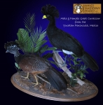 Great Curassow Taxidermy Mount