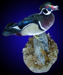 Wood Duck, Standing on Tabletop Habitat