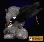 Black Scoter Taxidermy Mount
