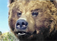 Close-up of Brown Bear Face