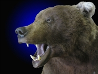 Brown Bear close up mouth open aggressive