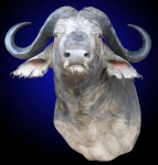 Cape Buffalo, Standard Shoulder Mount, Upright