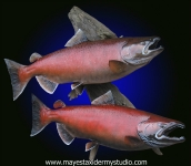 Chinook Salmon Reproduction, King Salmon Reproduction, King Salmon Mount, Chinook Salmon Mount